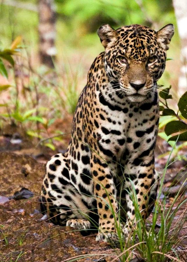 Guyana Jaguar   Mike Gerrard